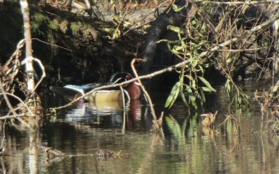 Wood Ducks Arrive at The Pond in the Fall
